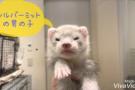 【動画】むちむちカナディアン&ホールデンベビー♪(みなとみらい店)