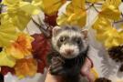 11月27日更新 お店にいるフェレットちゃんの紹介♪ ららぽーと店